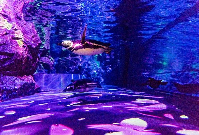 """「すみだ水族館」クラゲとペンギンの大型水槽で""""桜咲く""""プロジェクションマッピング fashion-p…"""