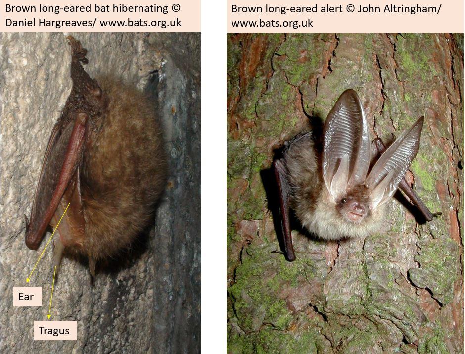Long-eared #bats tuck their ears under their wings when sleeping or hibernating #lovebats https://t.co/wJYuAeAldr