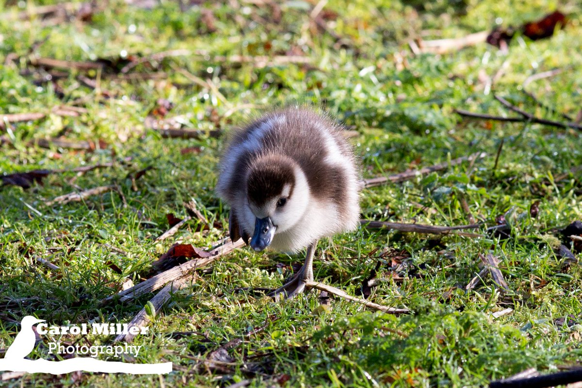 #Egyptian #Gosling Early Bird, last day of February #Chiswick Park<br>http://pic.twitter.com/beHiHAexp9