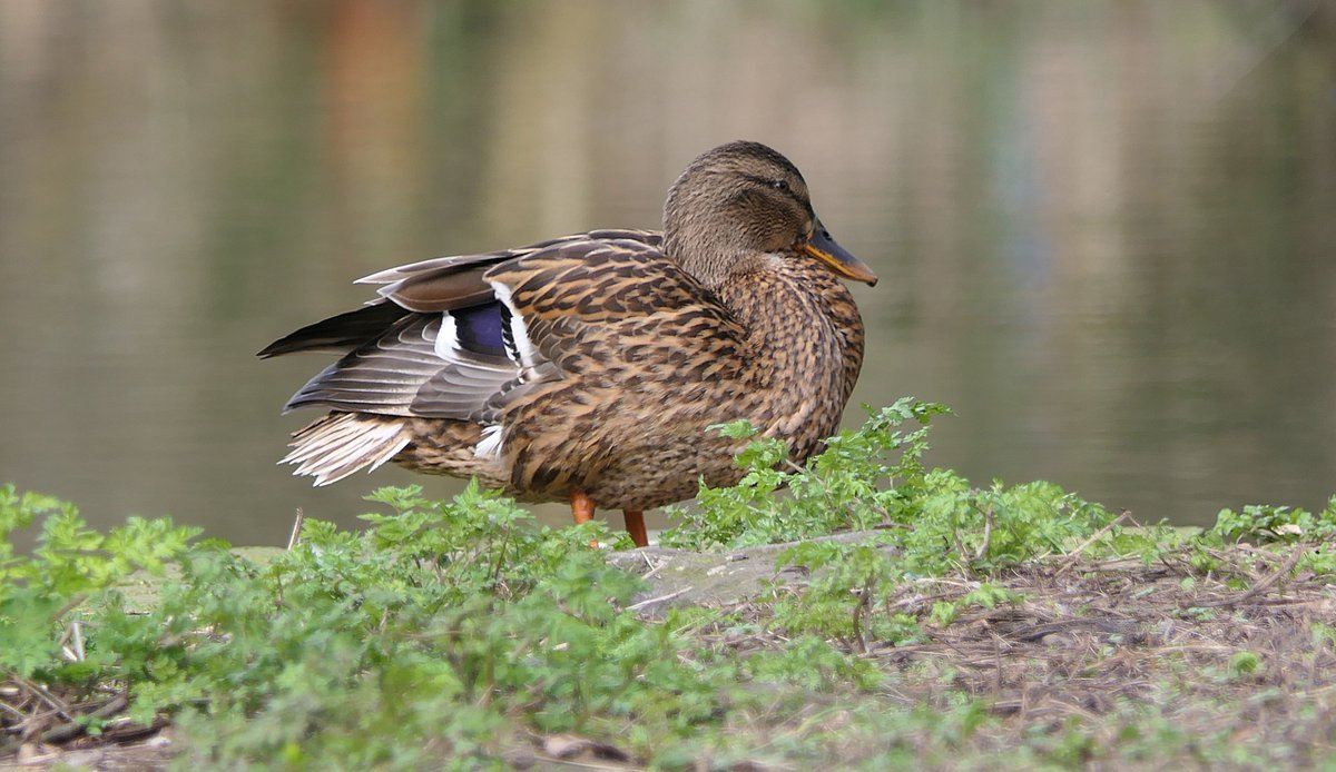 Female mallard duck resting stock photo