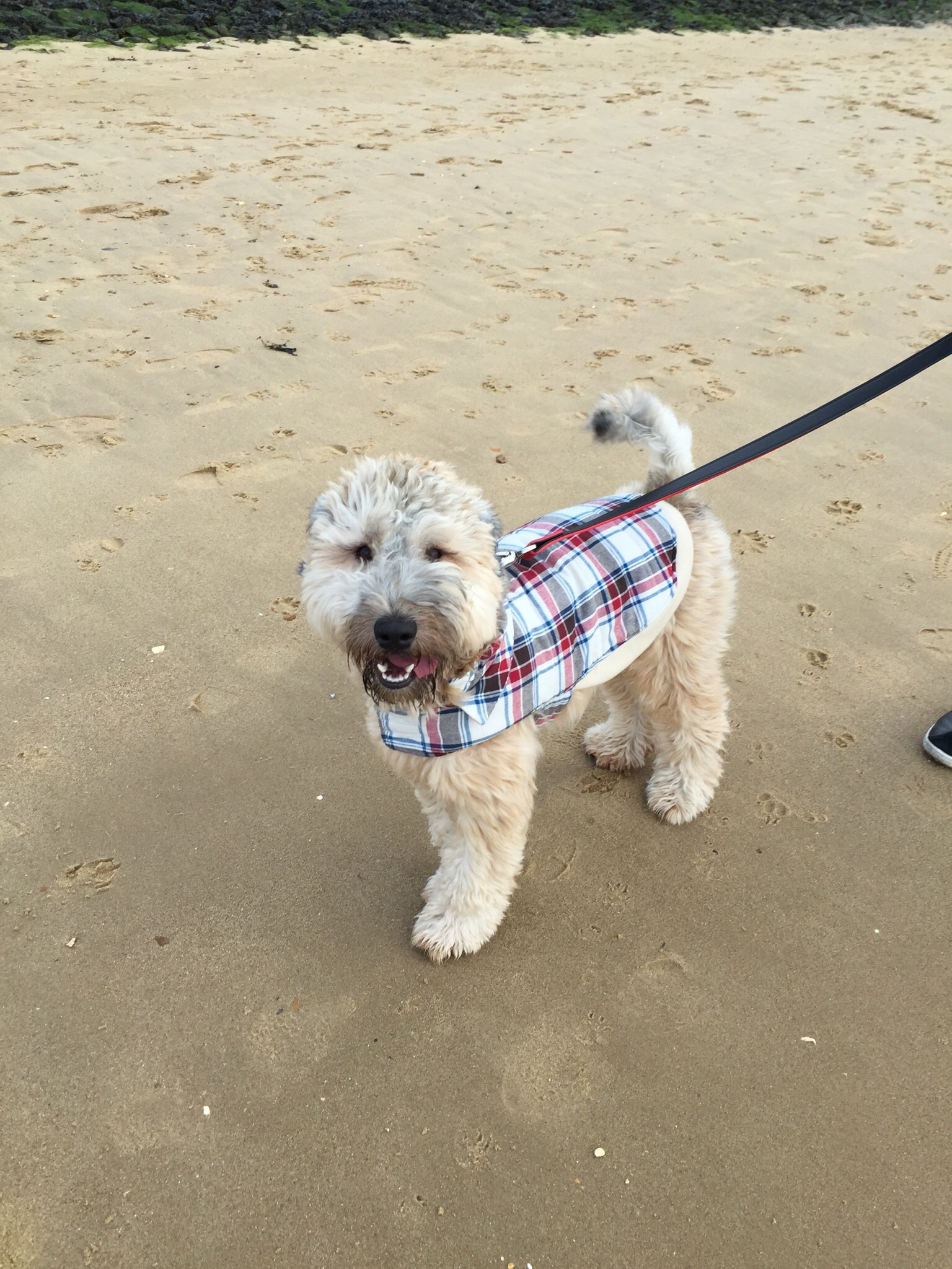 Reggie the Wheaten Terrier as a puppy on the beach! #crufts2017 #Crufts #CruftsHoliday https://t.co/oy3XgSmD4Q