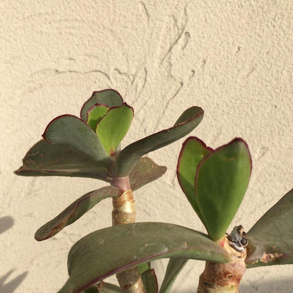 ��� ����� cotyledon macrantha���������� pukubook����