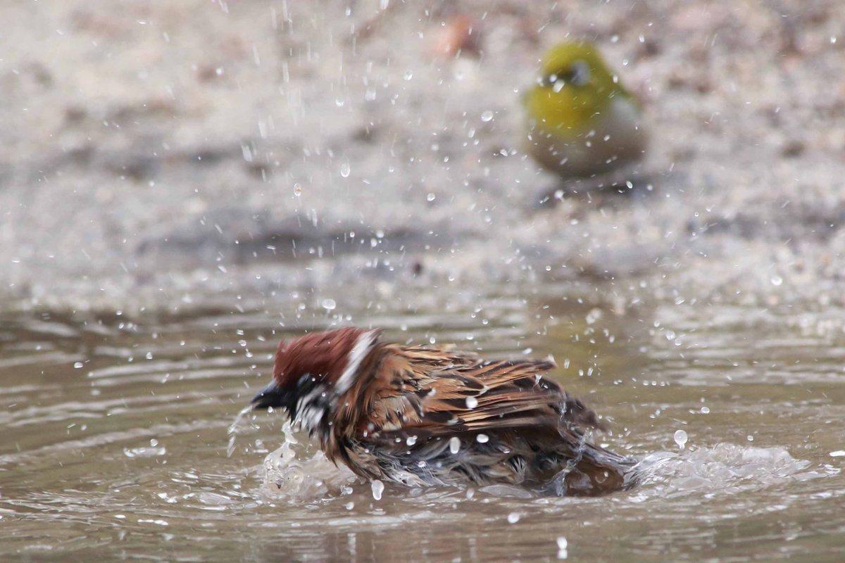 公園の水たまりで、スズメが気持ちよさそうに水浴び。後ろで羨ましそうに見ていたメジロも、思い切って水に顔をつけました(^o^) pic.twitter.com/RfWneOGujX
