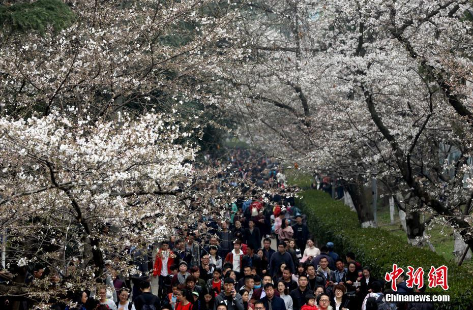 #Cherryblossoms bloom at #WuhanUniversity, Hubei province, attracting many tourists to enjoy the campus scenery.  http:// bit.ly/2ni9O9E  &nbsp;  <br>http://pic.twitter.com/D77mSWIvQN