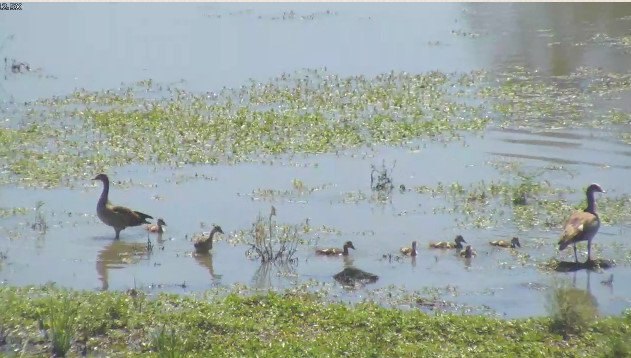 #geese and #gosling right now at #arathusa. Watch @wildearth  http:// bit.ly/arathusa  &nbsp;  <br>http://pic.twitter.com/jMYAyPHCsw