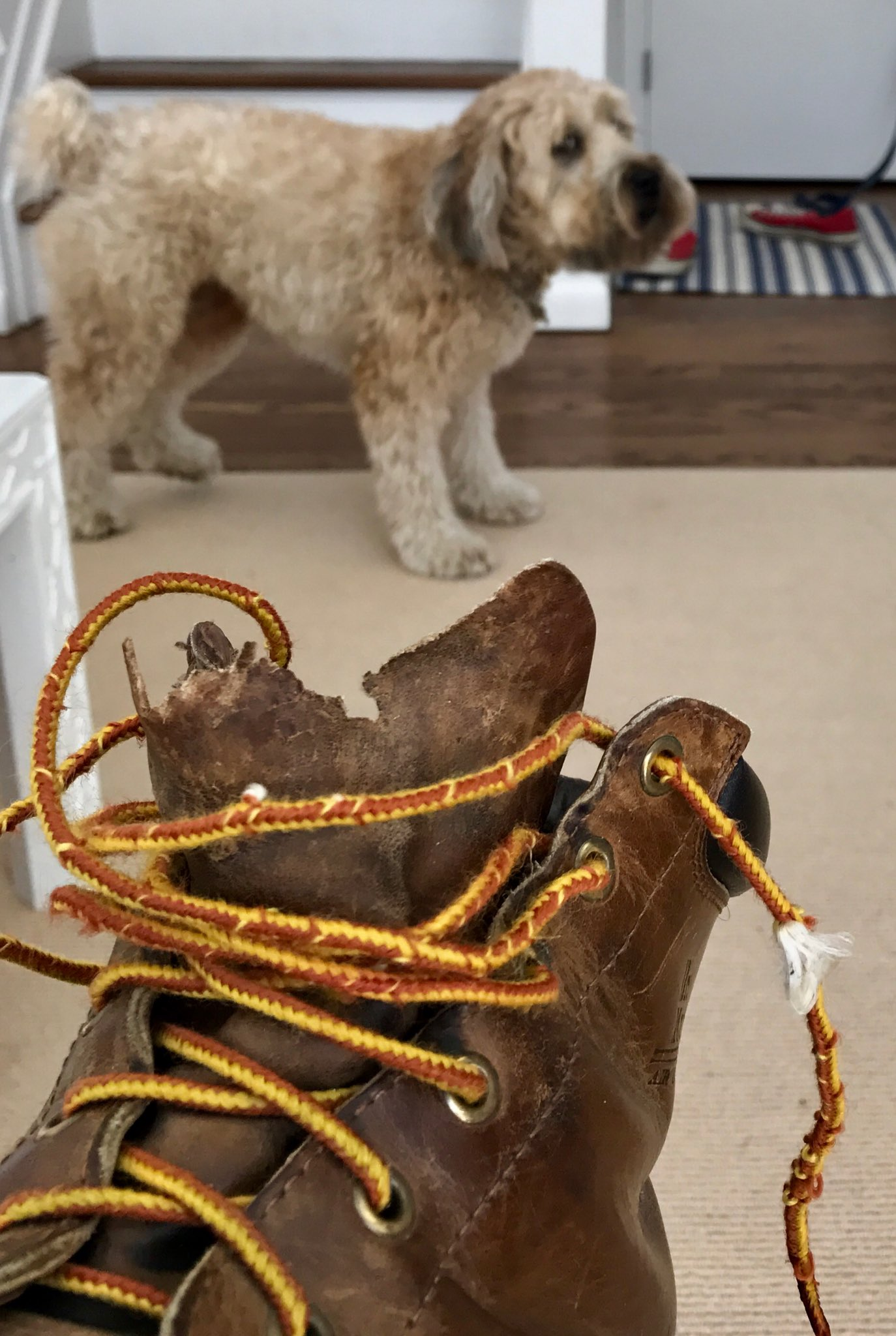 My dog got to my @drmartens but I'm wearing them anyway!!  #greatshoes #wheaten https://t.co/ld7LpcSwDZ