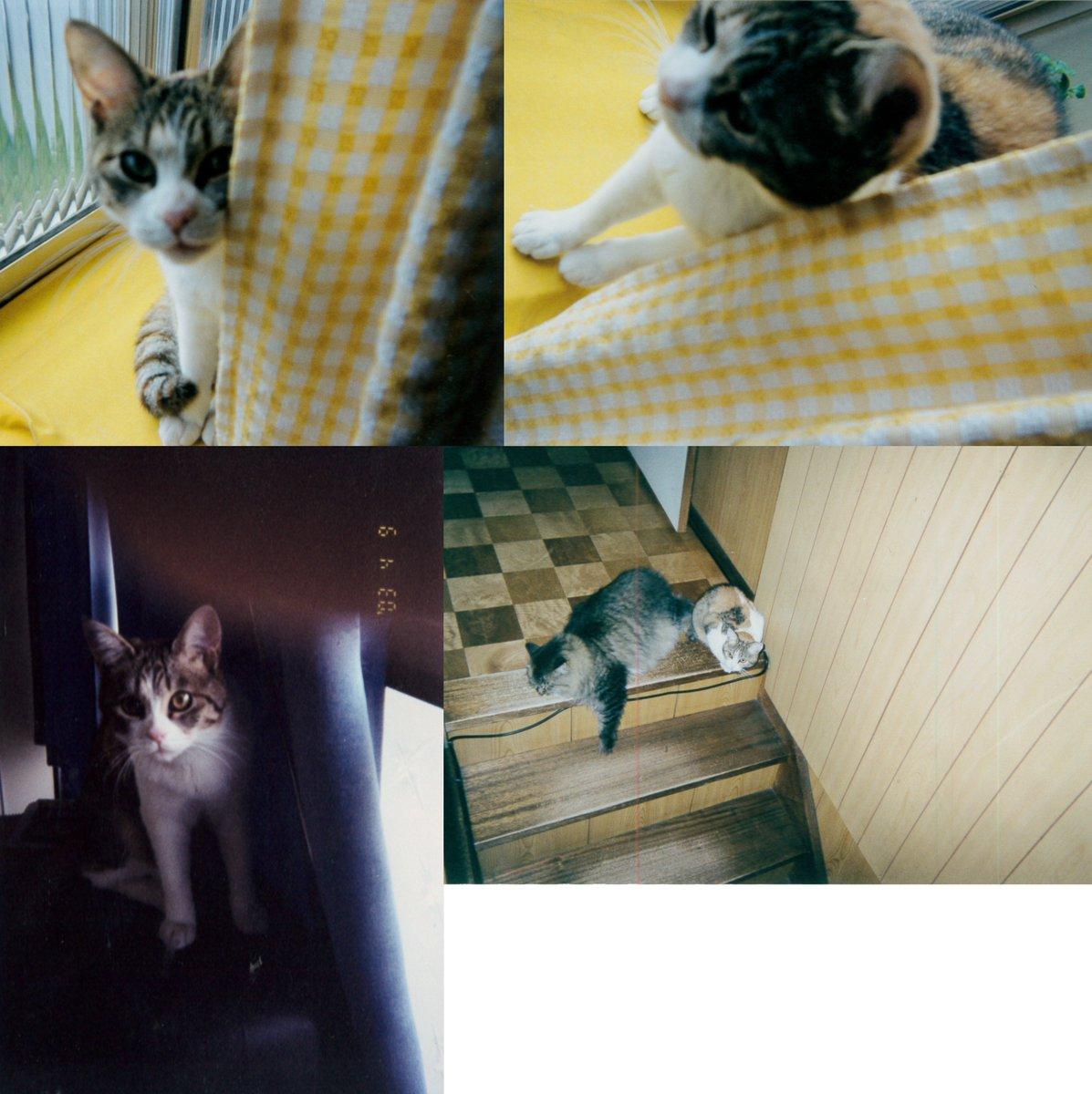 1歳くらいのときのミケの写真を発掘しました。悪人面で近所で有名なブサ猫でした。