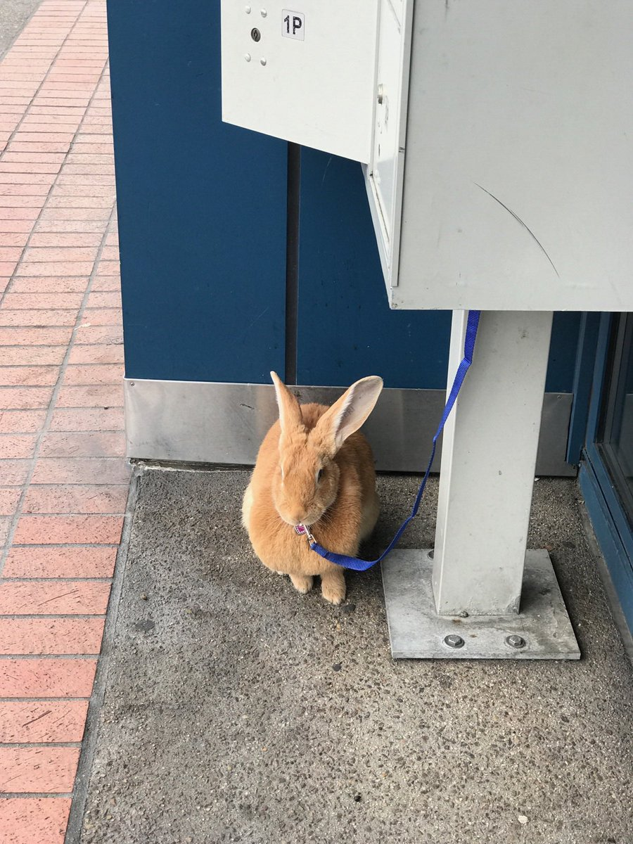 You know California has reached peak hipster when someone parks a rabbit outside a Starbucks.