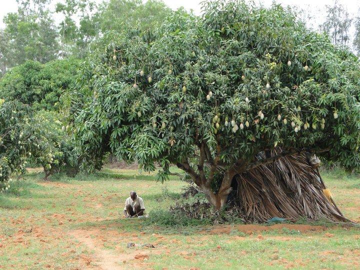 Dreams of the mango man https://t.co/yTEa1OVtgG