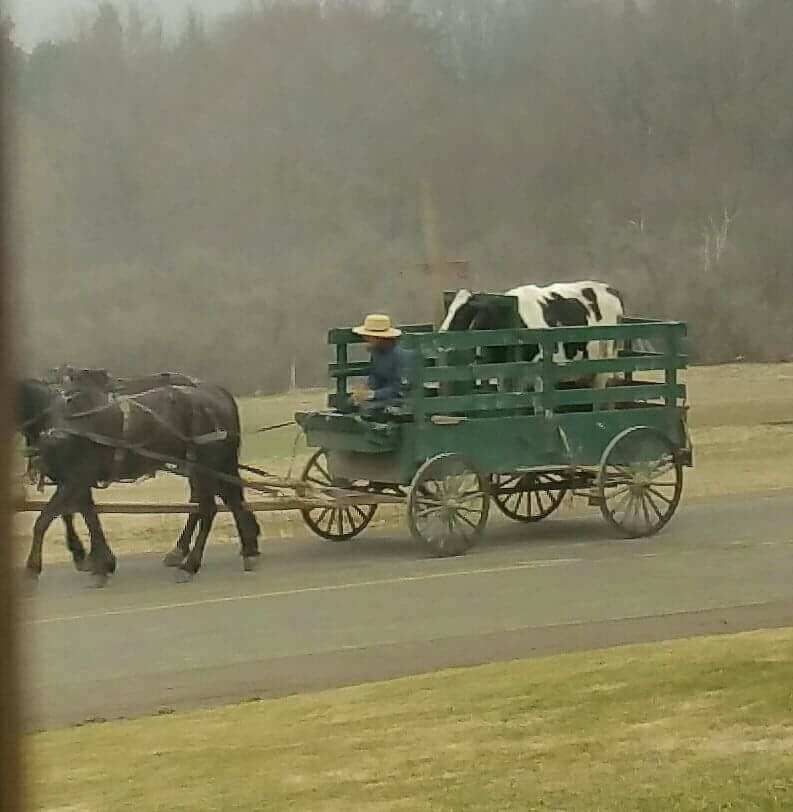 Meanwhile, in NY...a cow travels by horse drawn wagon. https://t.co/hIf5fo53aN