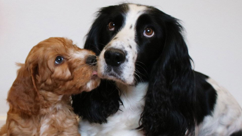 Happy Mother\'s Day! Here\'s sponsor hearing dog puppy Nutmeg and his mum - gorgeous Ginny >>