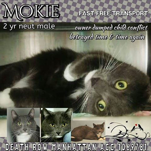 SUPER  LOVING MOKIE HAS VOLUNTEER PLEA FOR LIFE!  SAVE b4 NOON MONDAY!  #NYC #cats