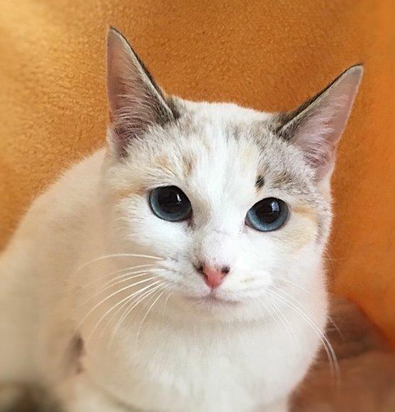 【 #里親募集 】「こまりちゃん」#栃木県 #宇都宮市 - 猫の里親募集(150141) :: ペットのおうち   #猫 #cat