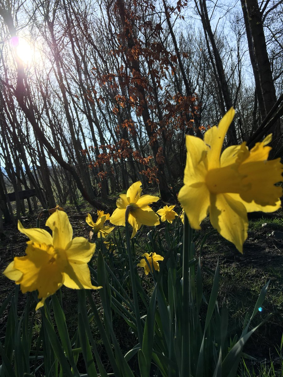 A gorgeous morning in our forest. children laughing, learning and loving it! #daffodils #forestschools #outdoorlearning #primary education<br>http://pic.twitter.com/xXbponqxbI