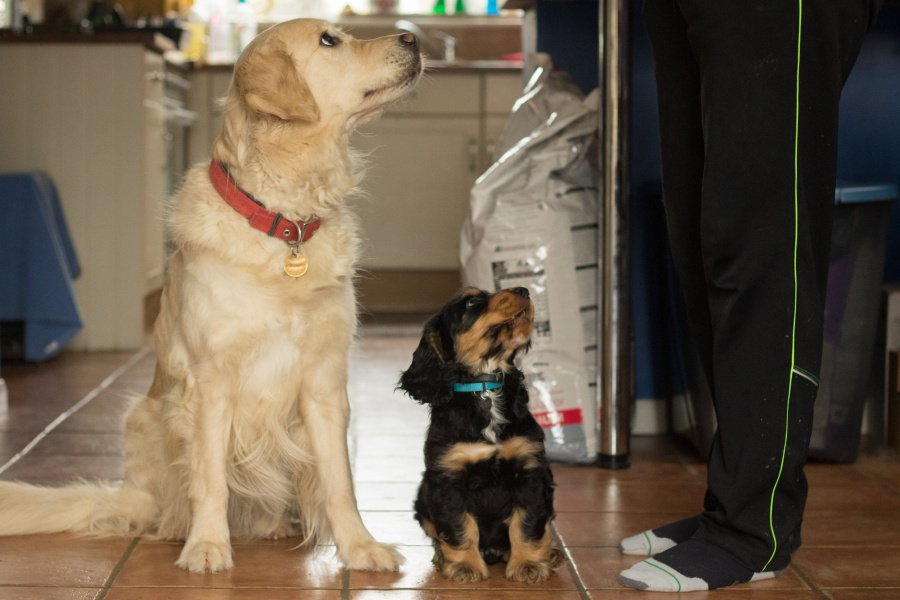 Eight week old puppy Frodo is picking up some fab training tips from pet dog Amber :)