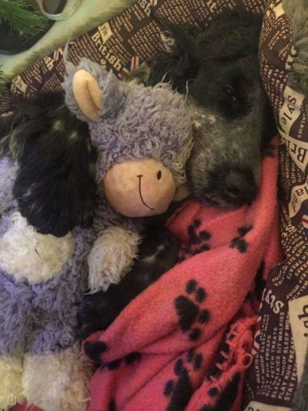 Goodnight from hearing dog puppy Pixie!