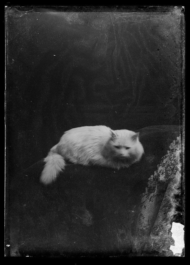 Loving this ca. 1873-1916 photo of a white cat by C.M. Bell. @librarycongress #MewseumMonday