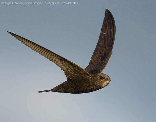 An extremely early Common Swift seen in London this evening - the first in the UK this year! https://t.co/jvet9HcOfC