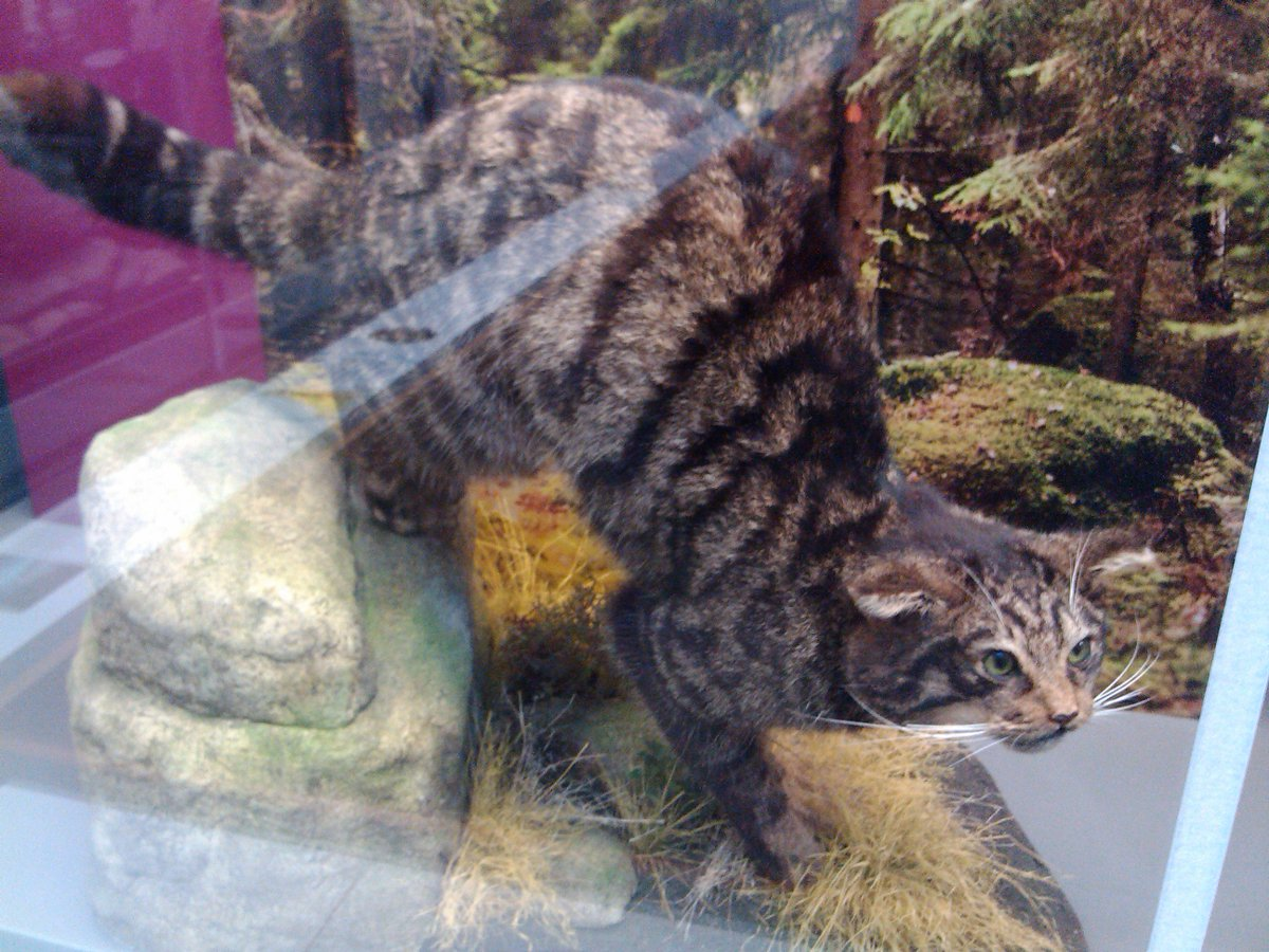This wildcat lives in @YorkshireMuseum! #MewseumMonday