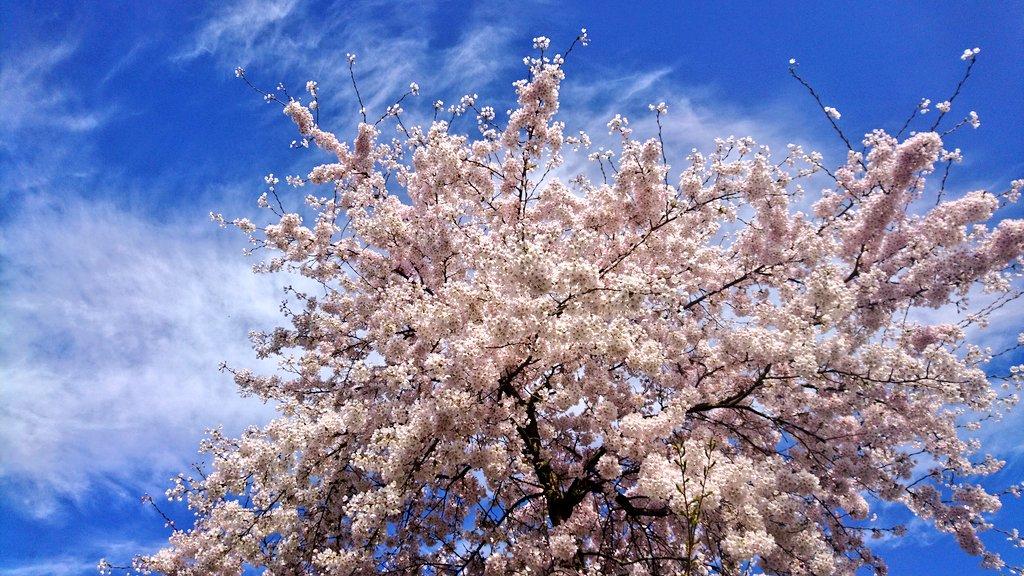 C&#39;est mon premier #lundifleuri  à #Amsterdam, tous les arbres sont en fleurs maintenant  belle soirée  <br>http://pic.twitter.com/BX32FinYmY