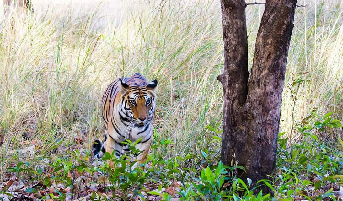 Tigress as she emerges from a bush in Bhandavgarh, India.