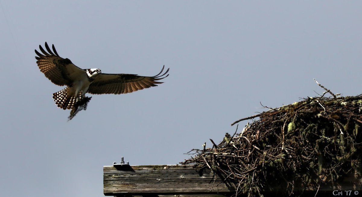 Oh, absolutely, Mr. Osprey! That&#39;s exactly what that nest needs - just one more mossy stick! It&#39;s wafer thin... #becurious #BeKind @Ibycter<br>http://pic.twitter.com/yVkatiVn8E