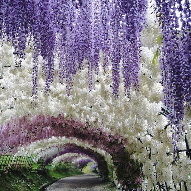 These photos of Japan's Wisteria Tunnel are straight out of a fairy tale https://t.co/LY2uffIvBF https://t.co/ixtOUg79PP