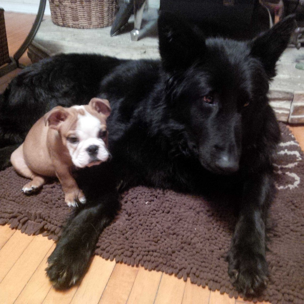 """Pound Dog Rescue on Twitter """"PDR foster dog Quinn the Shep is"""