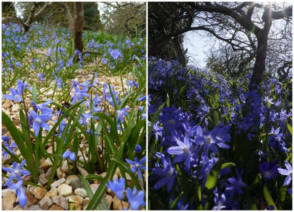 Glory of the snow, Chionodoxa luciliae 2015 left, this week right - wi...