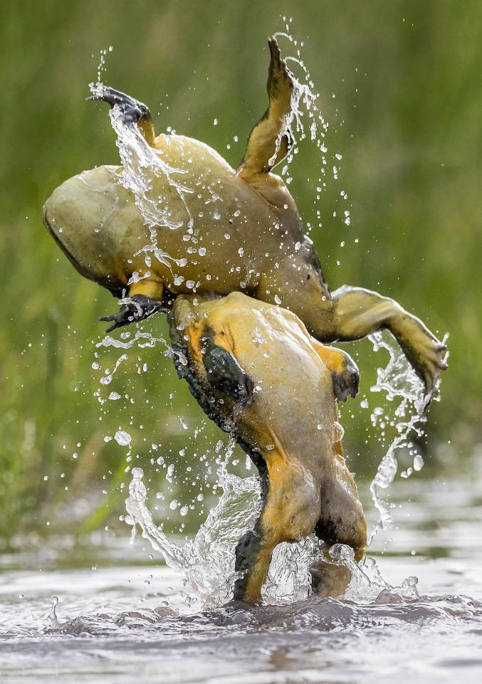 ボツワナでバックドロップを決めるカエルが激写される 繁殖期になると縄張りを巡ってこのようなオス同士の激しいバトルが繰り広げられるとのこと
