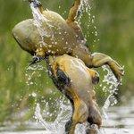 激しい縄張り争いの中でバッグドロップを決めるカエル!