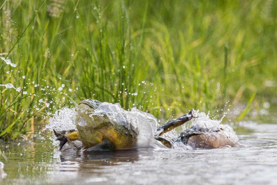 激しい縄張り争いの中でバッグドロップを決めるカエルwww