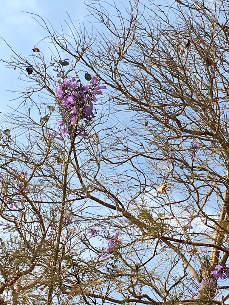 Dr jared harris on twitter flowering trees in maadi and cac 509 am 17 mar 2017 from cairo egypt izmirmasajfo