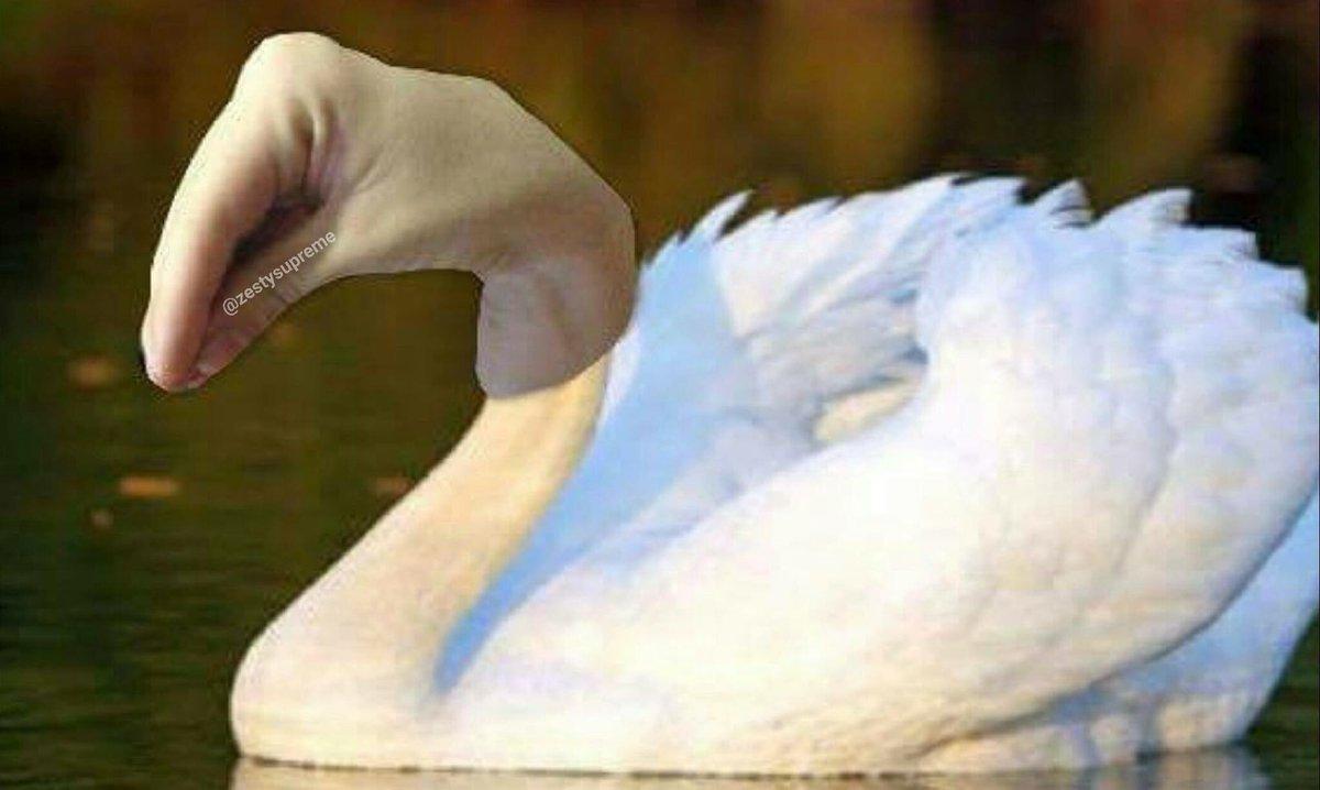 How Swans look in Italian https://t.co/giXelPqfOZ