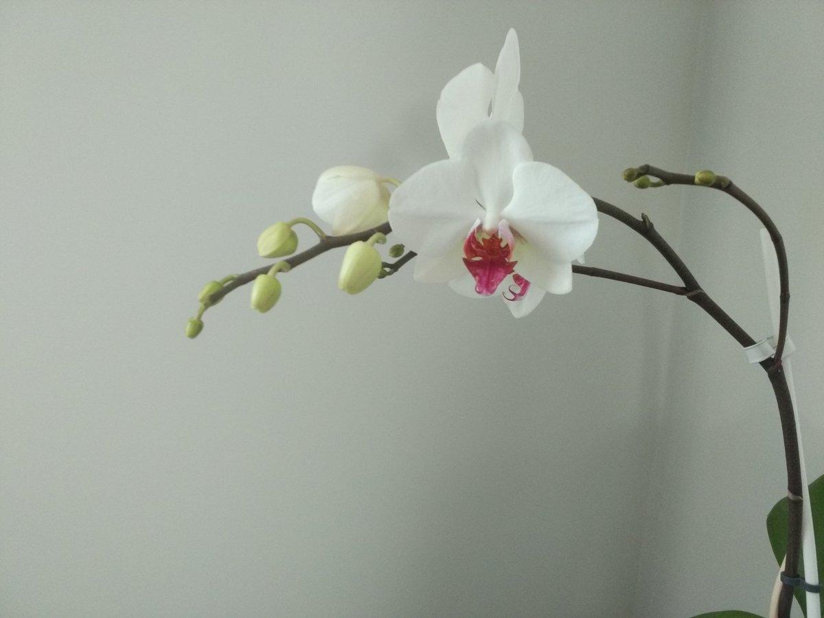 Mi orquídea ya va para los 6 años, y cada año saca más flor 😍. (La de...