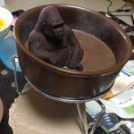 湯加減はいかがですかw何やら怪しげな湯船に浸かるマウンテンゴリラの入浴シーン!