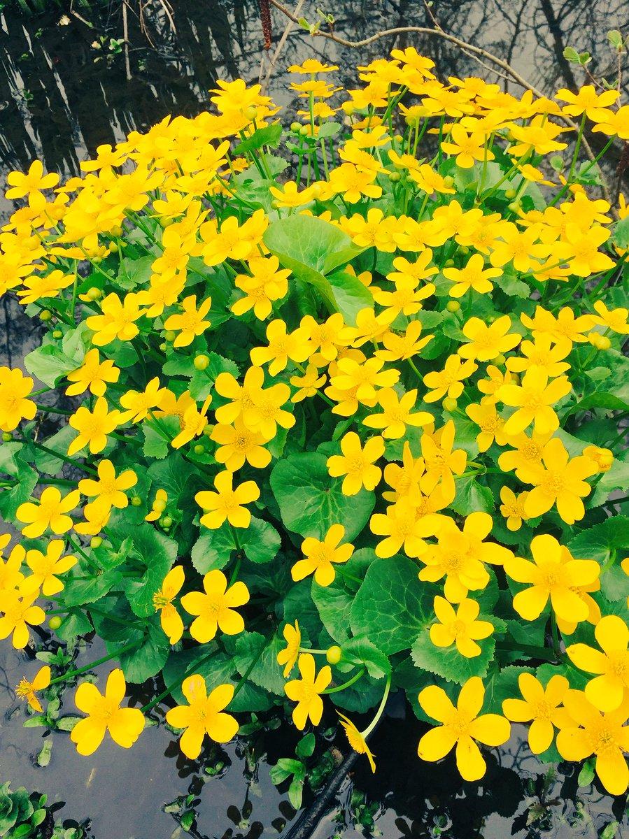 Primevères, #printemps... Un #dimanche au bord de l&#39;#Erdre #running #nantes #springiscoming #Primavera2017 #10km <br>http://pic.twitter.com/OCxajG4MGO