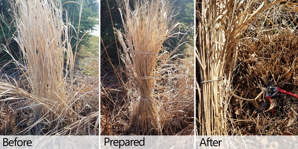 Nature hills nursery on twitter spring ornamental grass pruning nature hills nursery on twitter spring ornamental grass pruning tie the clump with twine trim the stems close to the ground and use the dry tops as workwithnaturefo