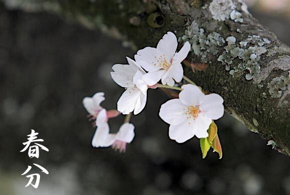 本日3月20日は春分、二十四節気のひとつです。昼夜の長さがほぼ同じになると言われます。  御祭神安倍晴明公秘伝本暦には「(略)春分を以って暦元となし 次の春分に至る一年とするものあり」と書かれています。 この日を新年の始まりとされている国もあるそうですね。  #晴明神社 #春分