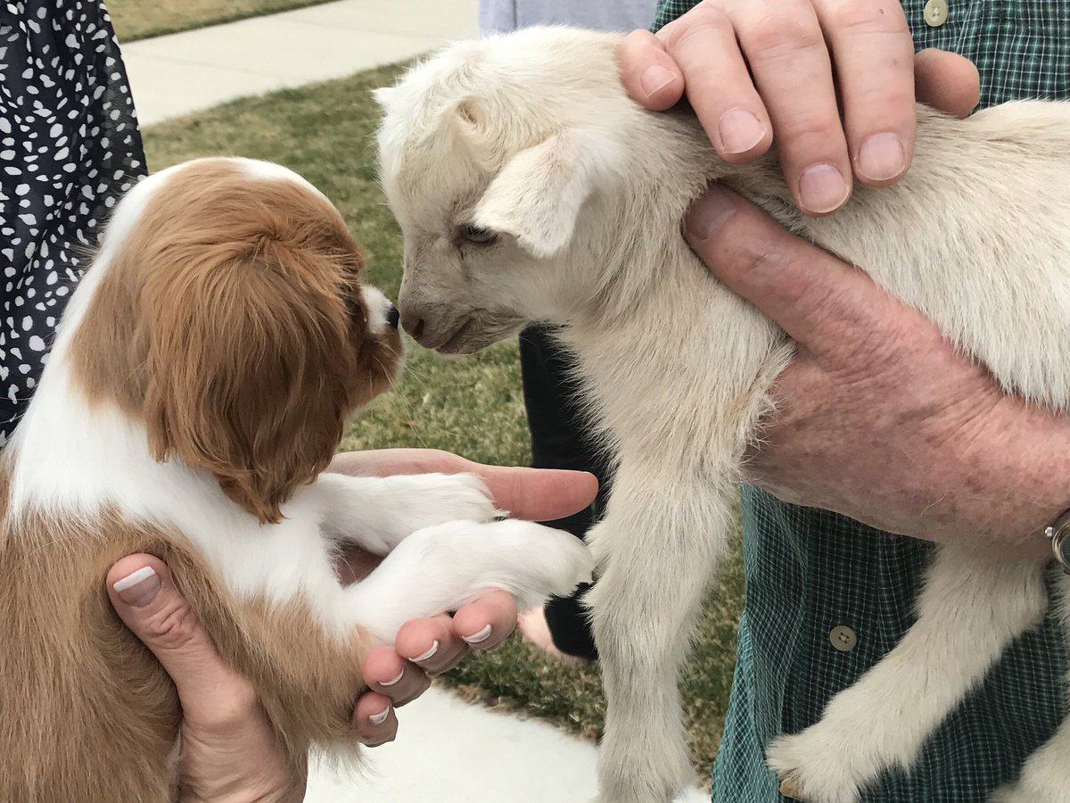 Today in our yard: neighbor's new puppy meets other neighbor's baby goat. We almost perished from cuteness. https://t.co/GtmCDG093p