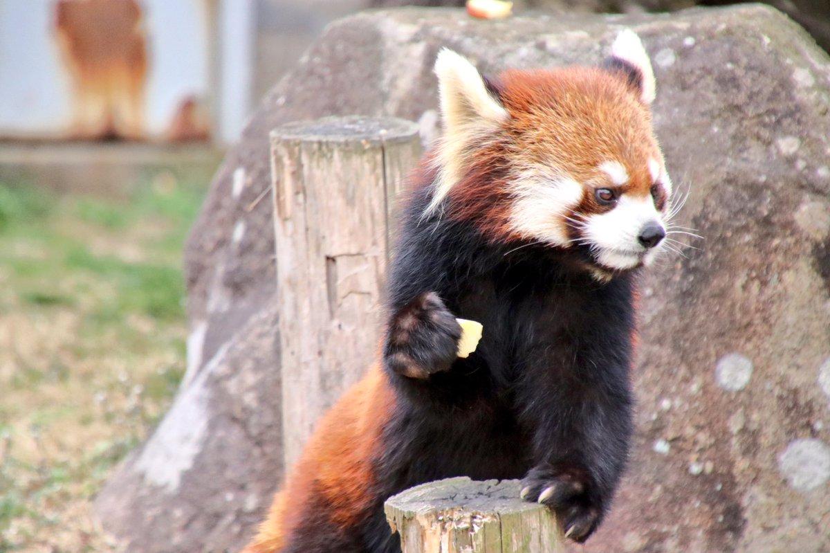 キクの方が色が濃いし顔まわりの毛色がはっきりしてるから見た目がかわいい。マルはなんて言うか、ちょっと…by飼育員さん  そんなwwww  (1.2枚目マル  2.3枚目キク)  #20170320安佐動物公園キク見送り演説