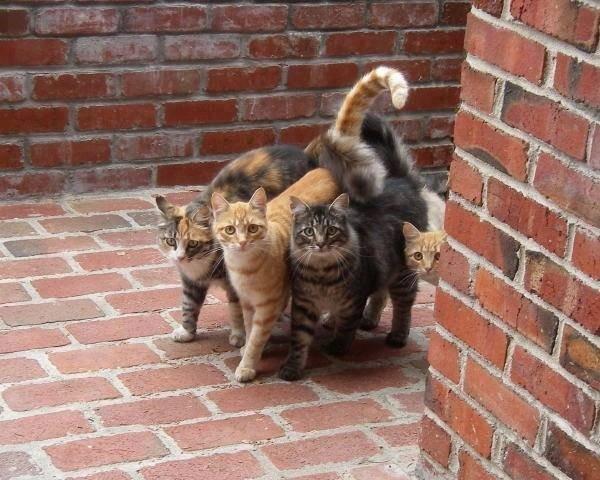 고양이끼리 서로 꼬리를 감는 것은 사람들 어깨동무하는 것과 같습니다. 아주 친밀한 관계죠.   빼꼼 보이는 고양이가 얻어터지고 들어와 한집에 사는 고양이들이 어깨동무하고 복수하러 가는 중. https://t.co/IuYSP937Hp
