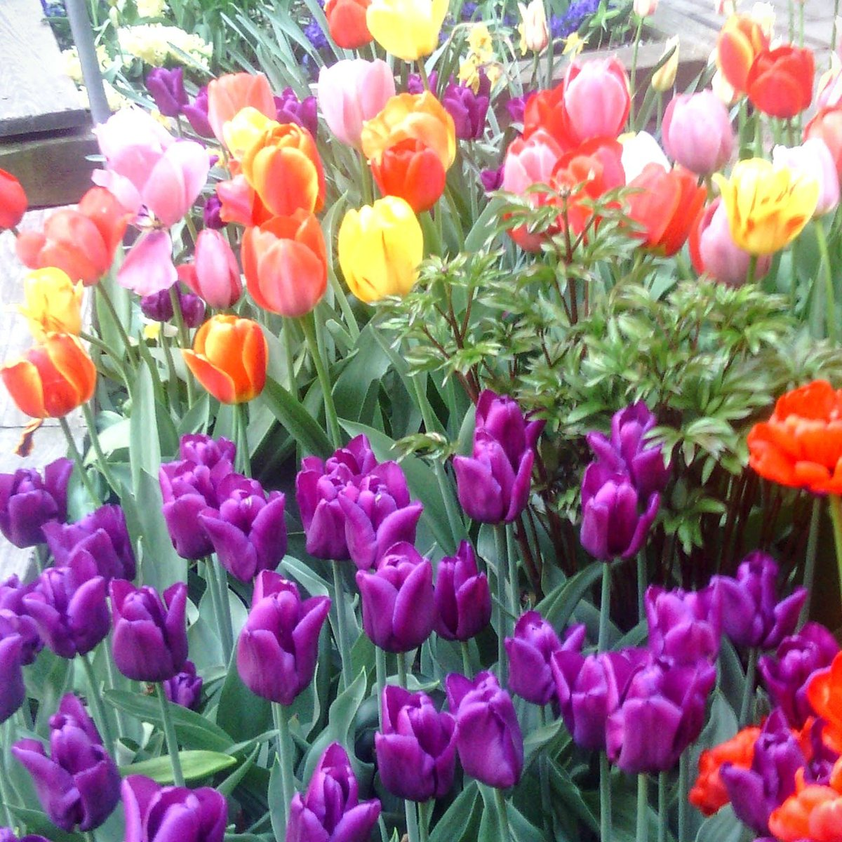 Multicolored Tulips At Westside Community Garden, NYC