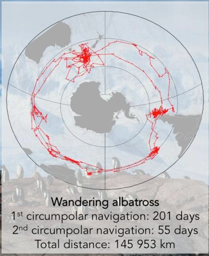 Impressive journey from one of the #albatross that was being tracked with #geolocators @Geo_Journeys @JaimieCleeland #APECS17 https://t.co/ggGQGAfRK2