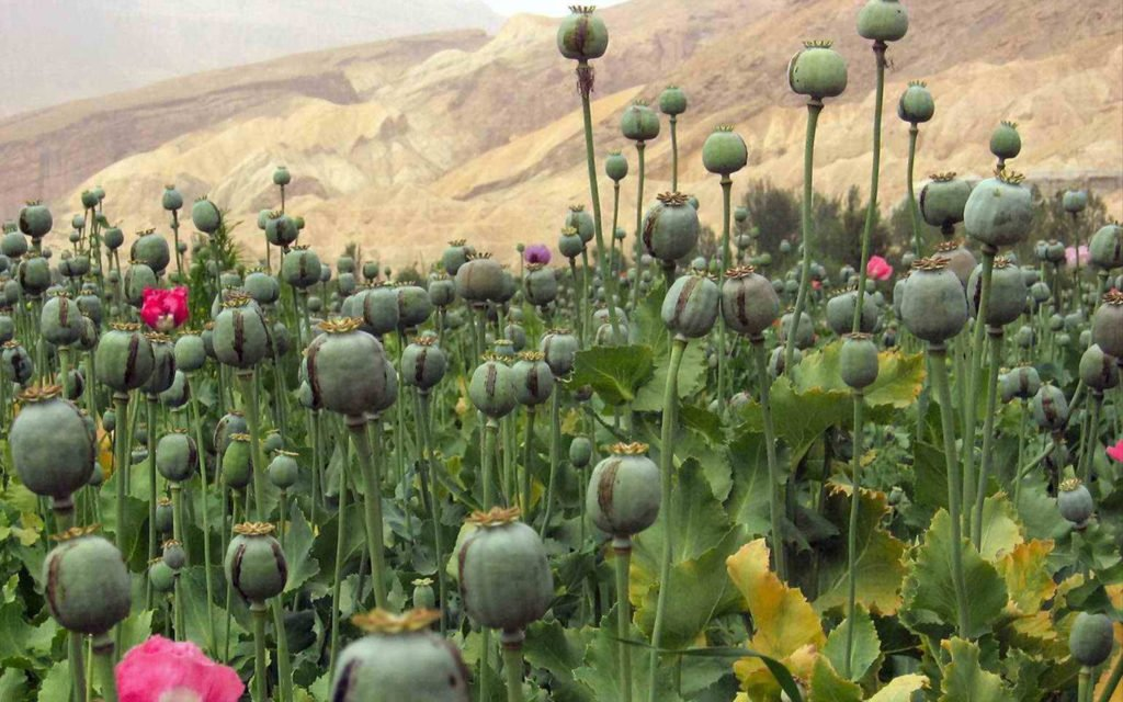 Mexican Cartels Moving Drug Crops into Oaxaca State – High Times