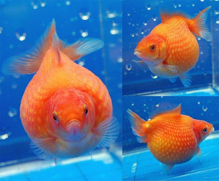 "Aquarium Talks on Twitter: ""Pearlscale #Goldfish Not ..."