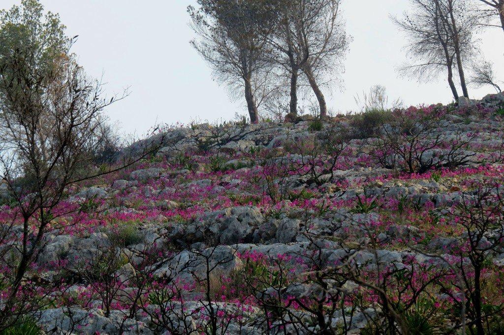 Invasión floral y color donde meses atrás era todo desolación tras el incendio en #Xàbia #Jávea @monicalopez_tve @tiempobrasero @Meteoralia<br>http://pic.twitter.com/6D3pZFiHby