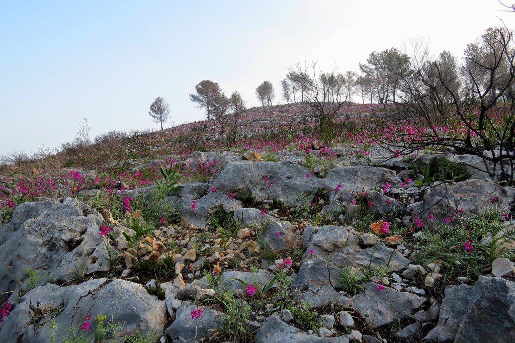 Invasió de flors i colorit on mesos arrere era tot cremat després de l&#39;incendi a #Xàbia @avametpred @JoannaIvars @Preven_IIFF_CV @OratgeCV<br>http://pic.twitter.com/lzq79EX3zl