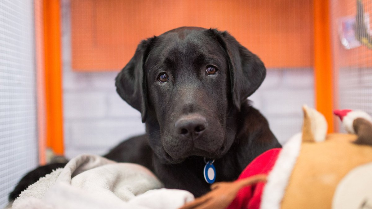 I paw-prove! Labrador is most popular breed in US for 26th straight year