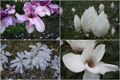 Magnolias are phenomenal this week @RHSWisley - with no serious frost...